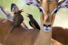 Guys! Stop shouting!! (PimGMX) Tags: birds southafrica dof impala kruger gamedrive oxpecker aepycerosmelampus redbilledoxpecker buphaguserythrorhynchus
