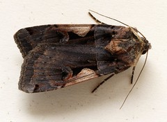 Moth Larvae Research Project: Black C