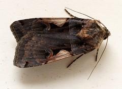 Schwarzes C: Schmetterlingsraupen-Forschung