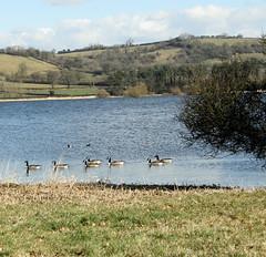 Canada Geese, Blagdon Lake, Somerset