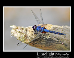 Dragonfly 3 (Limelight Fotography) Tags: blue macro tree art beautiful closeup bug insect fly flying wings colorful dof dragonfly bokeh effect