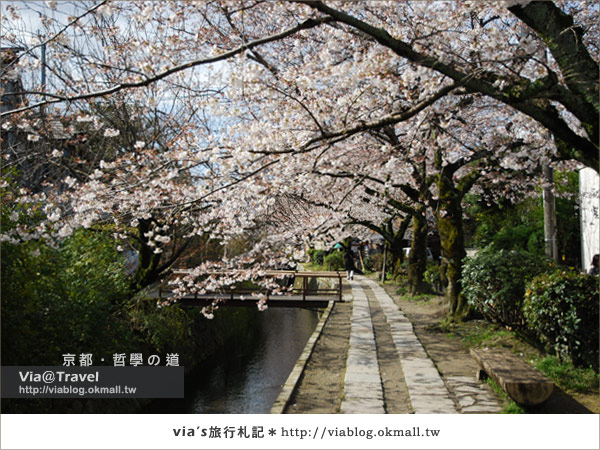 【via關西賞櫻行】京都賞櫻景點~哲學之道3