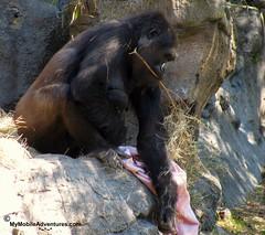 IMG_3131-WDW-DAK-baby-gorilla