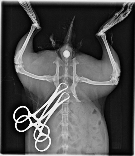 Derby - Mid-Surgery X-ray