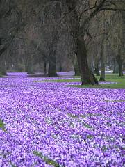 """""""Das blaue Band"""" in Dsseldorf (kudiahave) Tags: spring crocus dsseldorf krokus frhling"""