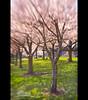Portland - Cherry Blossoms (Jesse Estes) Tags: lensbaby oregon portland cherryblossoms 5d2 jesseestesphotography