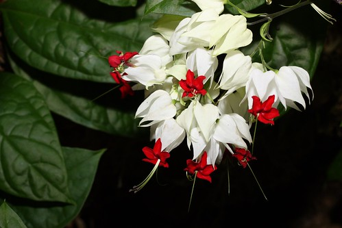 White Flowers with Red Tips