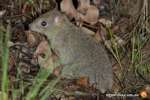 Northern bettong (Bettongia tropica)