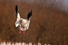 Snow Goose (cdn17) Tags: pa snowgeese middlecreekwma