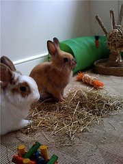 Bonding - Day 3 (LizzieViolet) Tags: rabbit bunny lucca bun bonding houserabbit lionhead shortcake lionheadrabbit housebunny netherlanddwarfrabbit indoorrabbit indoorbunny nethiex rabbitbonding