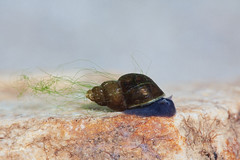 Caracol Babilnia / Babylonia snail (Galba truncatula) (Armando Caldas) Tags: portugal snail babylon mollusca gastropoda moluscs commensalism moluscos celoricodebasto mutualism comensalismo basommatophora lymnaeidae babilnia mutualismp galbatruncatula lymnaeatruncatula