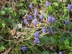 grape hyacinth in bloom