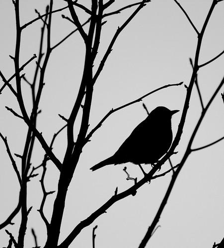 Robin Silhouette, Week 12/52