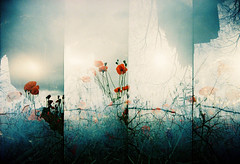 Tangled... (Trapac) Tags: uk flowers trees light red summer england film field vertical buildings four lomo xpro lomography crossprocessed supersampler glare bright doubleexposure framed 4 meadow gloucestershire plasticfantastic frame poppy poppies flare remembrance vivi vivitar poppyfields plasticcamera doubles tangled lestweforget remembering ledbury ryton omo explored vivitarultrawideslim vivitarultrawideandslim tobeconfirmed vivitarws bluesilhouette vivitarroll42 doubles15 collaborationbetween~fiona~andtrapac with~fiona~ tracypackerphotography wwwtracypackercom
