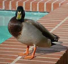 Needs a Cigarette (epiclectic) Tags: bird pool birds sonora duck ducks fowl lakeforest epiclectic foolfest10