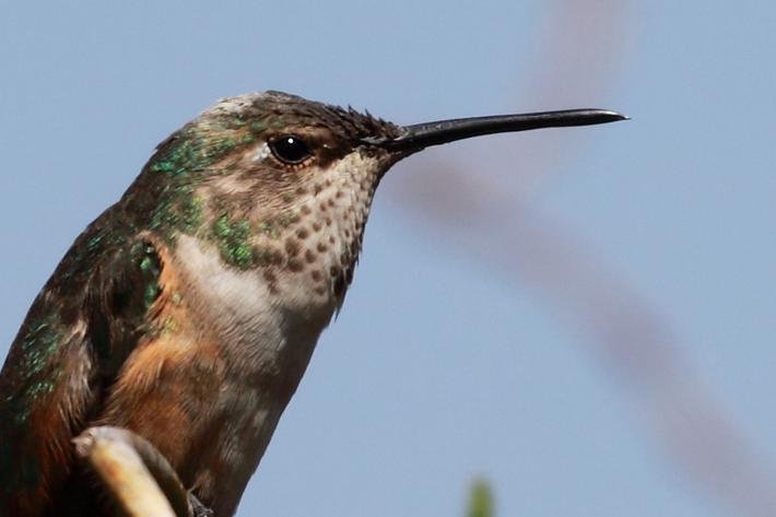 032910_hummingbirdPerched01
