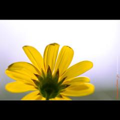 Sunny Sunshine (hijo_de_ponggol) Tags: plant flower macro sunshine yellow sunny kodakero sunnysunshine