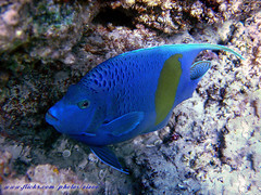 (Shy) Angel Fish (aZ-Saudi) Tags: blue sea fish color water angel interesting ksa saudia alhasa