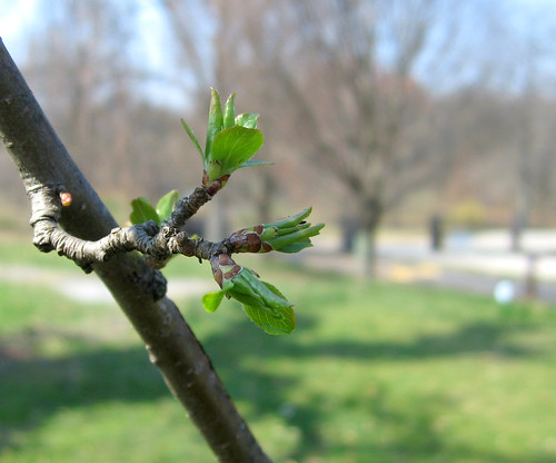 Nature - spring buds 1
