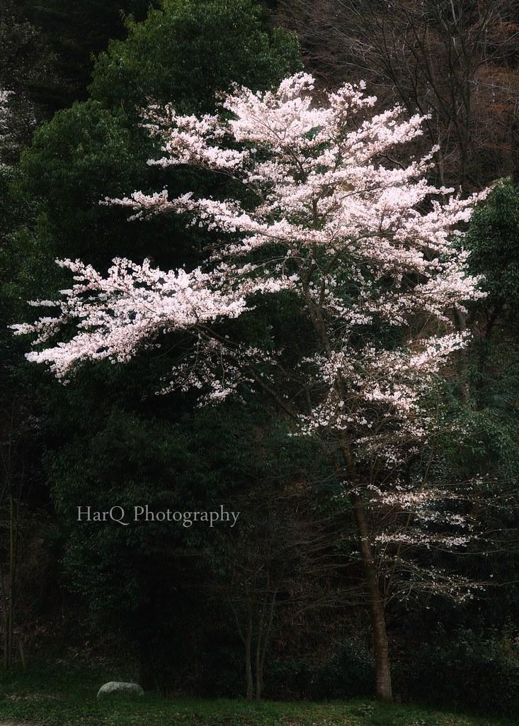 A Cherry Tree *