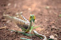 Mantis versus Snake? (ckubber) Tags: africa mantis snake insects prayingmantis zambia circleoflife flickrchallengegroup flickrchallengewinner
