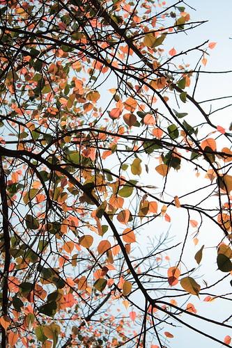 中午的菩提樹