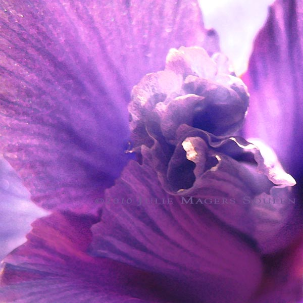 The light catches the delicate purple frills and folds of an iris in this close up photo painting.