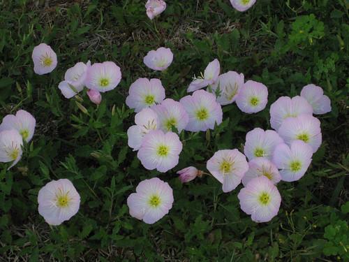 Foraging texas primrose pink pinkprimrose pink primrose flower mightylinksfo