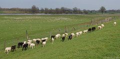 Wegwezen !!!!!!! (ditmaliepaard) Tags: white black lambs maas zwart wit brabant lammetjes abigfave bokhoven