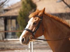 Calliope under saddle (lostinfog) Tags: april 2010 dunny colorado e300 horse