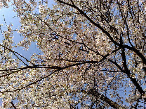 sakura cherry blossom 桜満開