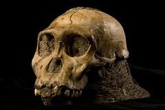 Cráneo de Australopithecus sediba at Flickr.com