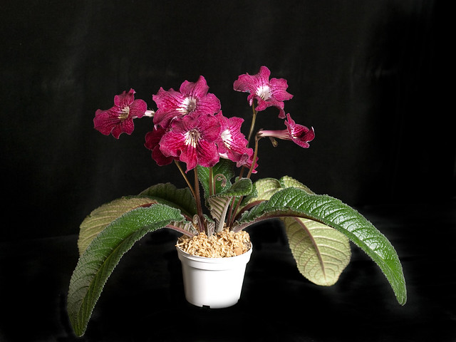 Streptocarpus 'Neil's Strawberry'