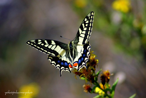 MACAONE..Papilio machaon-