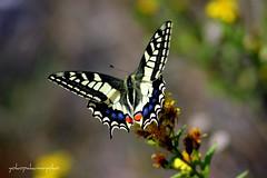 MACAONE..Papilio machaon-Farfalle di Sardegna (yokopakumayoko.Franco Concu) Tags: sardegna butterfly italia da top10 mariposa colori schmetterlinge borboletas   top50 nuoro papiliomachaon macaone 11aprile  thesuperbmasterpiece irgoli saariysqualitypictures fotografidisardegna farfallediyokopakumayoko farfalledisardegna macaonediyokopakumayoko yokopakumayoko lepibellefarfalle yokopakumayoko farfallemacaonesuifiori butterfliesofsardinia peregrino27macro lefarfalledifrancoconcu lepibellefarfallesuflickr