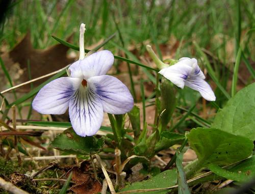 Spurred Violets