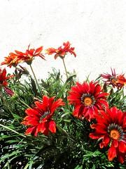 Dormilonas .. (lumière<3) Tags: flowers flores garden pretty dormilonas