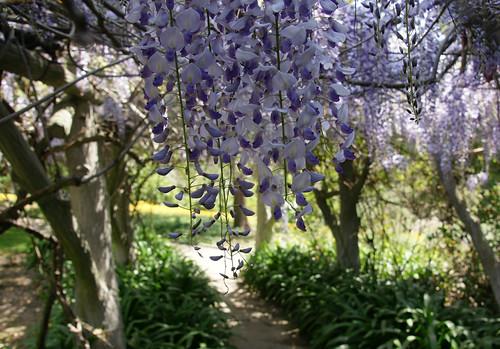 wisteria under the arbor
