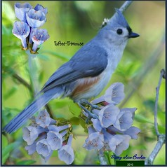 Tufted Titmouse (Mary Alice Bowles) Tags: titmouse tufted