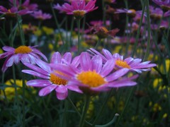 Purple Daisies (Dave Roberts3) Tags: park macro yellow wales daisies shadows purple cymru newport gerbera daisy mauve bellevue tistheseason potofgold casnewydd gerbra flickrdiamond
