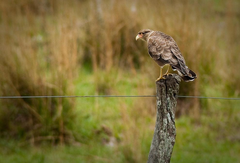 Un Taguató observando la pradera, aguardando el momento de capturar una presa, tales presas suelen ser lagartijas, ratas y conejos. Mientras, estos pájaros se posan en los postes de alambrados en la campaña de Caapucú, Departamento de Paraguarí. (Elton Núñez, 2009)