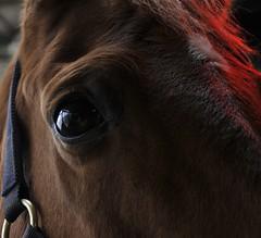 Paardenhoofd (laura.snellenberg) Tags: horse horsehead paard horseseye paardenoog paardenhoofd