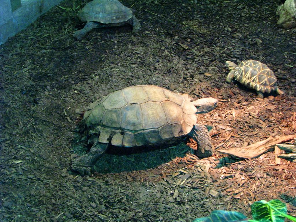 Asian Brown Tortoise / Burmese Star Tortoise
