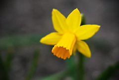 Day 84 (Marcin Cieślewicz) Tags: flower macro nature yellow garden 50mm flora nikon dof natura daffodil d200 nikkor f18 makro narcissus przyroda kwiat żonkil żółty f18d ogród project365 narcyz nikkoraf50mmf18d jonquilla projekt365 c1n3kk marcincieślewicz