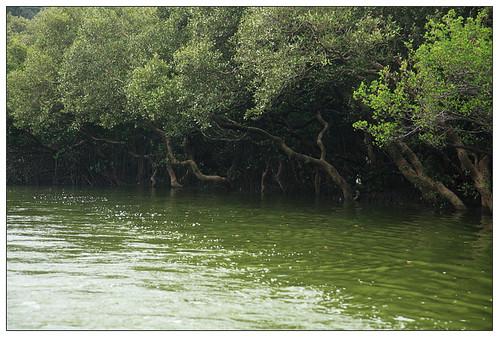 四草紅樹林綠色隧道2