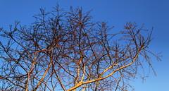 Morning Light (Tina-Pina) Tags: morning sun tree dawnredwood