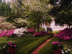 the path to the front of the Cottage with pink and white azaleas blooming on either side and the yellow cottage in the background