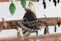 baudchon-baluchon-mindo-papillons-14