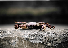 Crab 3 (niall patterson) Tags: fish beach animal dead concrete photography seaside edinburgh menacing united small crab kingdom creepy patterson portobello creature niall debri niallpatterson niallpattersonnet wwwniallpattersonnet