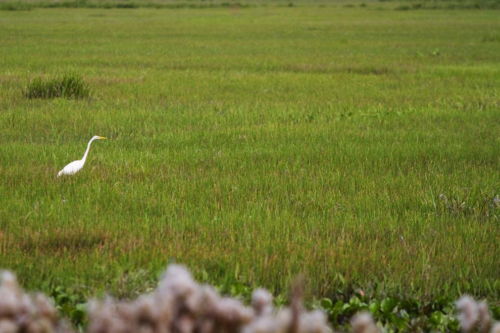 Una Garza alimentándose en los esterales y humedales de Arroyos y Esteros. (Arroyos y Esteros, Paraguay - Tetsu Espósito)